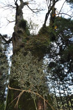 白谷神社の栃の木