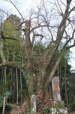 元小峰の菩提樹