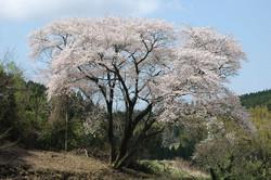 川島の大桜