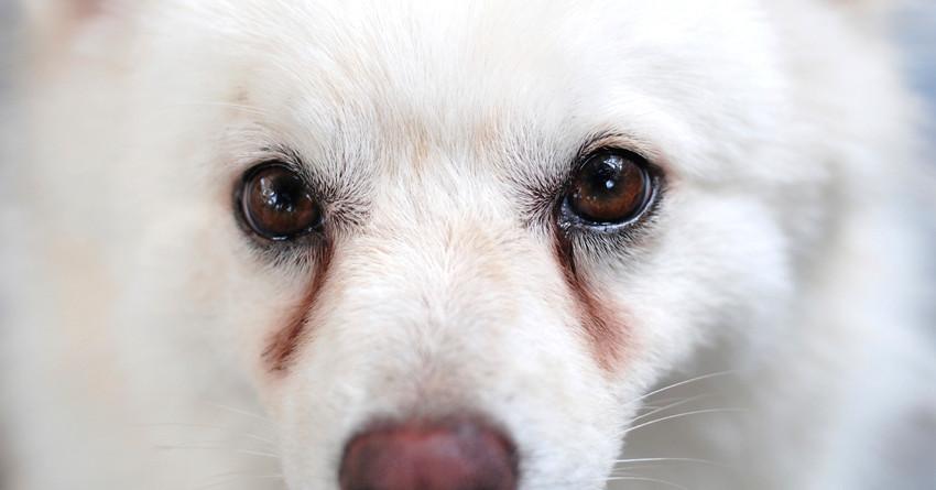 lacrimazione cani rossa
