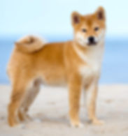 Dog-Japanese_Shiba_Inu-A_growing_young_J