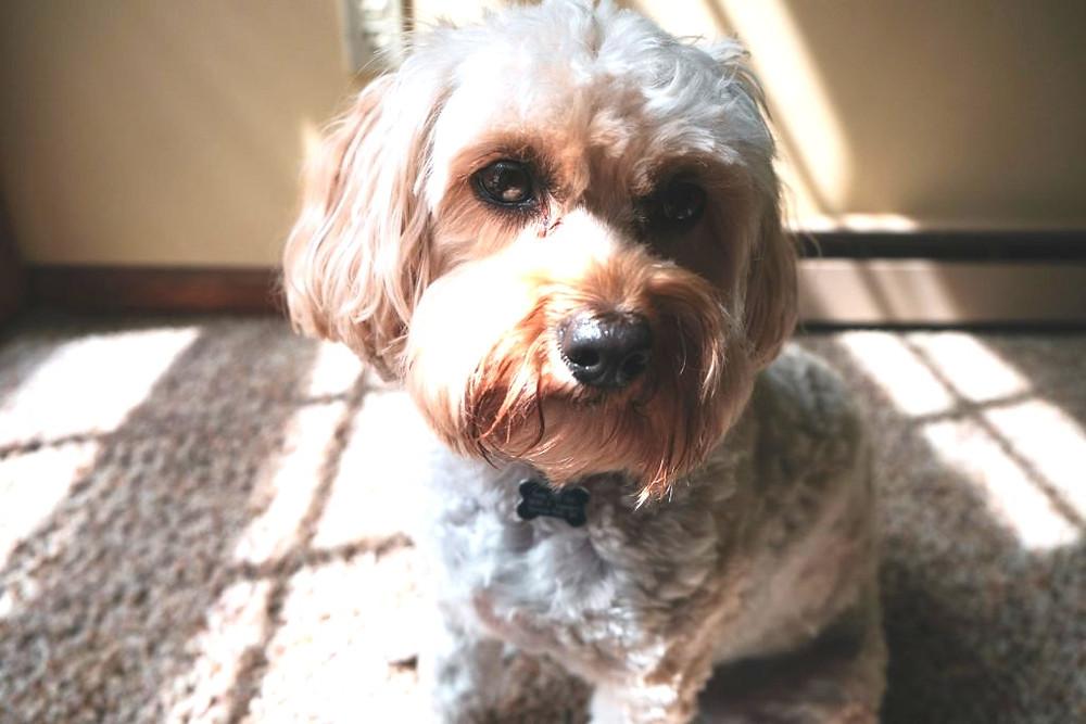 Lacrimazione cani marrone