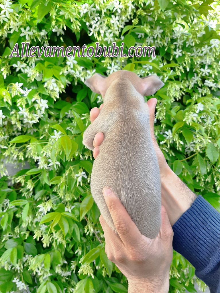 Allevamento Cuccioli Di Chihuahua Toy In Vendita