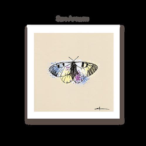 Papillon Semi Apollon