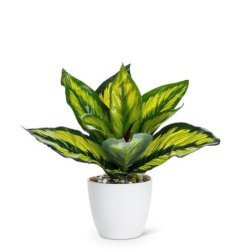 Variegated Leaf Plant in Pot