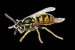 European_wasp_white_bg-removebg-preview.