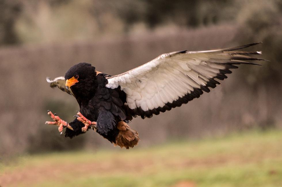 Terathopius ecaudatus. Bateleur. Águila volatinera
