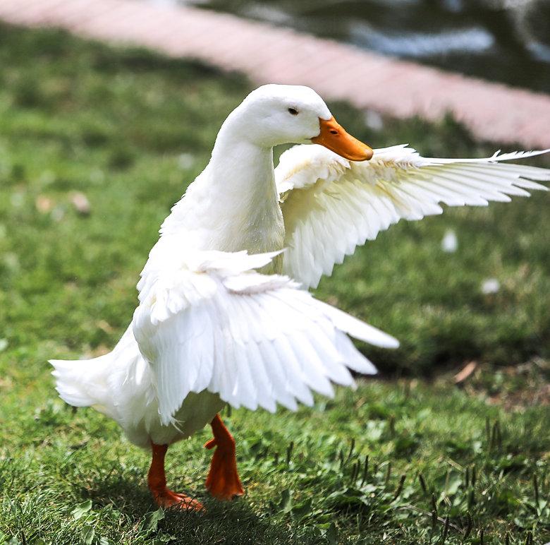 Pato bailarin, dancing duck