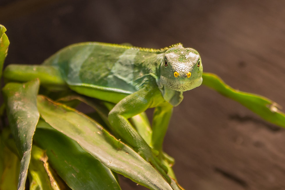 Lagarto, lizard