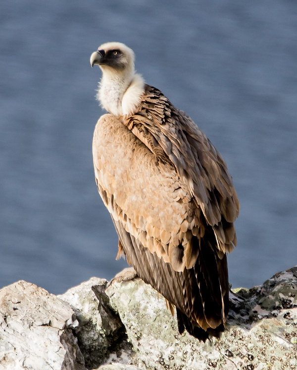 Buitre leonado, griffon vulture