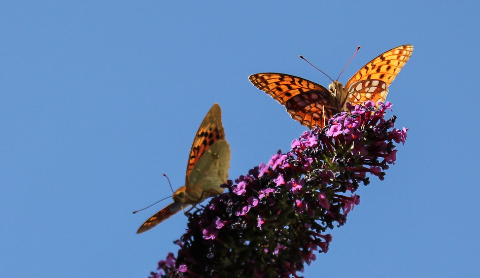 Pareja de mariposas, butterflies couple