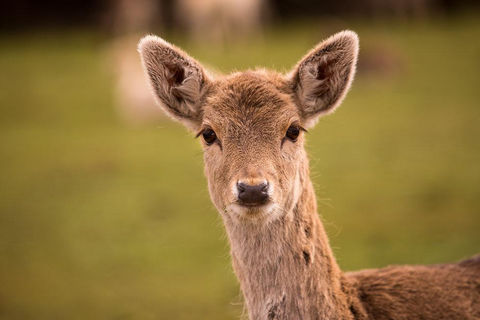 Ciervo, deer