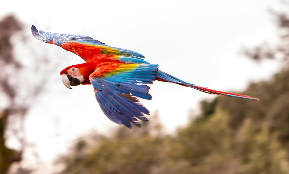 Guacamayo aliverde, red and green macaw