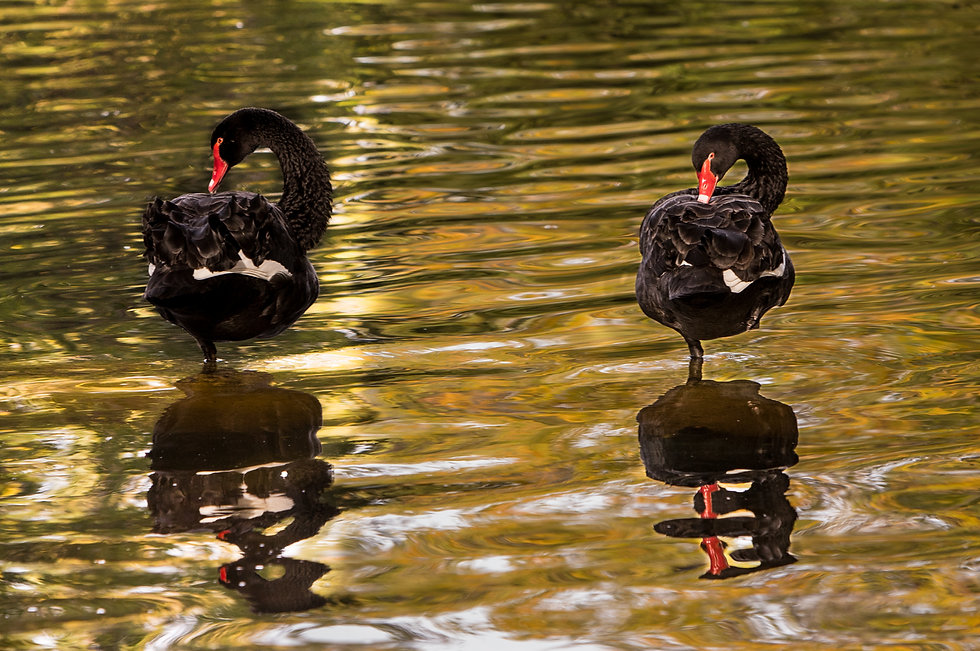 Pareja de cisnes negros, pair of black swans