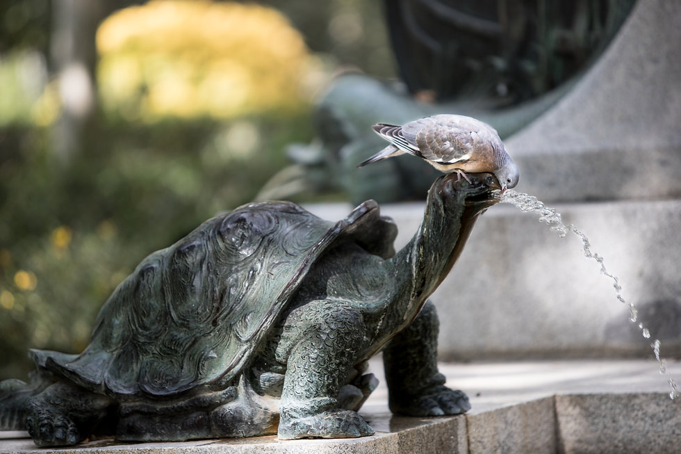 Paloma bebiendo de una fuente de tortuga, Pigeon drinking from a turtle fountain