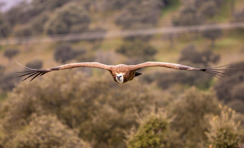 Buitre leonado en vuelo, griffon vulture