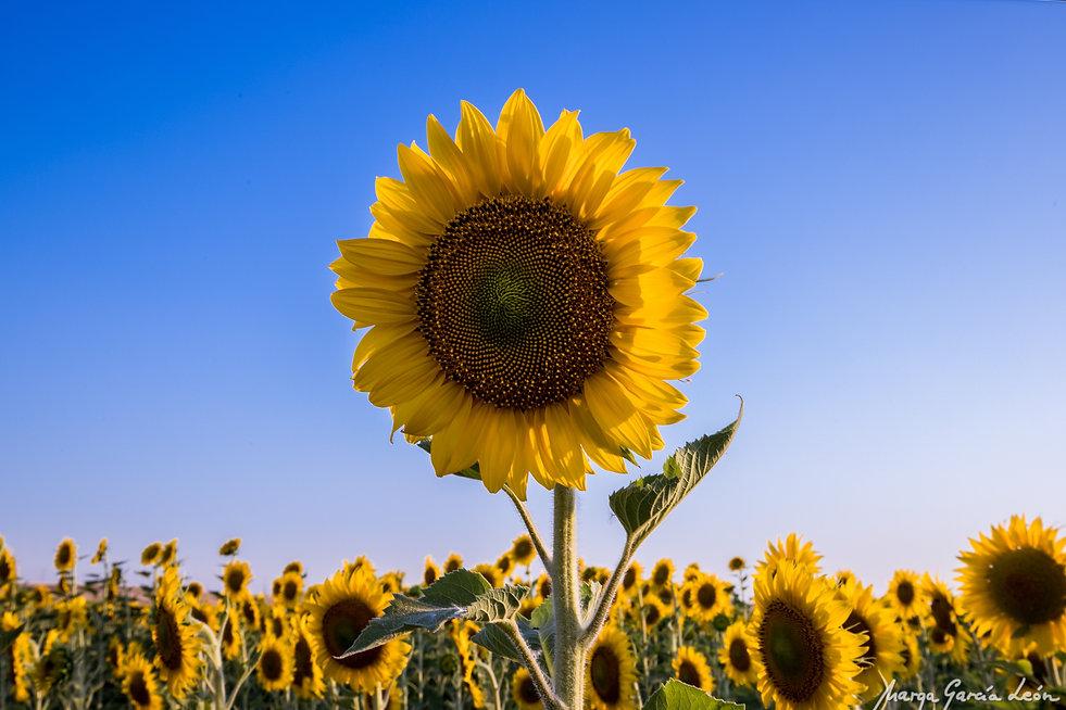 Sunflower, girasol, flor, flower