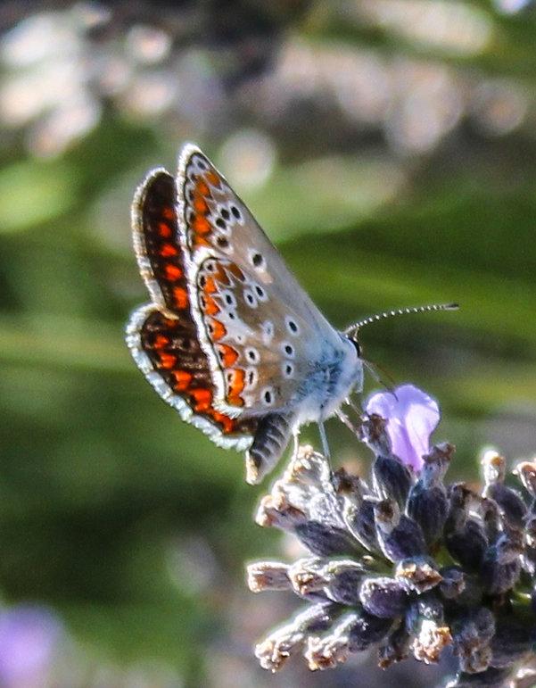 Mariposa, butterfly