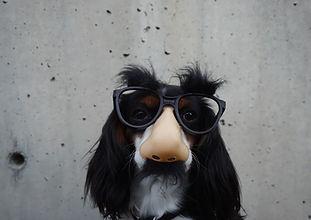 Springer Dog