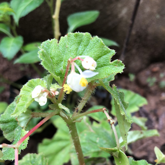 Begonia type creeper.