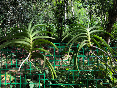 Introducing Orchids and epiphyte structures at Belipola