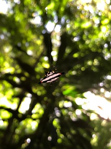 Mantar-ray Spider