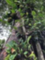 Jack Fruit - Perennial tree crop
