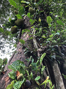 Jack Fruit - Perennial tree crop