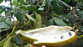 Ice Cream Bean  Inga Edulis ; The Sri Lankan experience