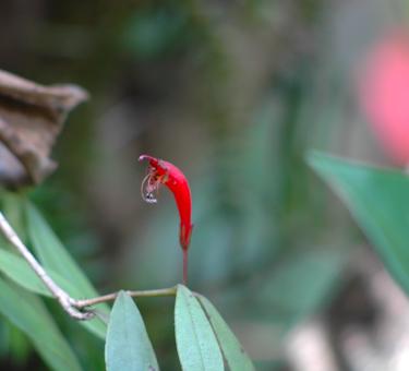 Aschynanthus zeylanicus - Geznariad
