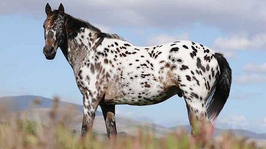 cavallo_appaloosa.jpg