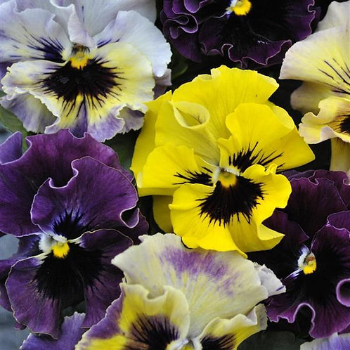 PANSY, FRIZZLE MIXED COLORS, 6 PLANTS