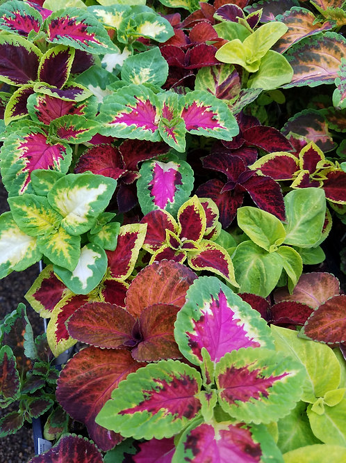 COLEUS, MIXED COLORS