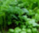 Herb plants, Basil, cilantro, rosemary, sage, lemon grass