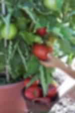 Patio Tomato