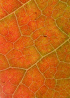 Orange Malple Leaf