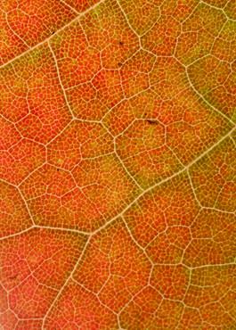 Orange Malple Leaf