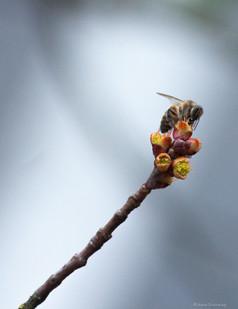 Maple Flower Honey