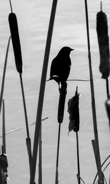 Red-winged Black Bird Silhoutte