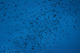 Mexican Free Tailed Bats