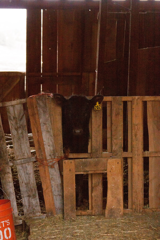 Black calf peeking though a fence