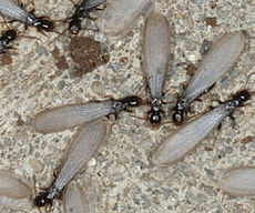 Winged termites swarming