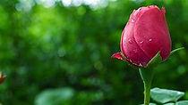 rose image.jpg