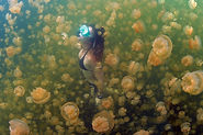 Palau-kwallen-meer.jpg