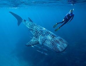 tiburon ballena.jpeg