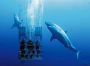 white shark guadalupe.jpg