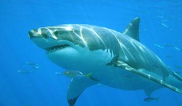 biosfera-tiburon-islaguadalupe.jpg
