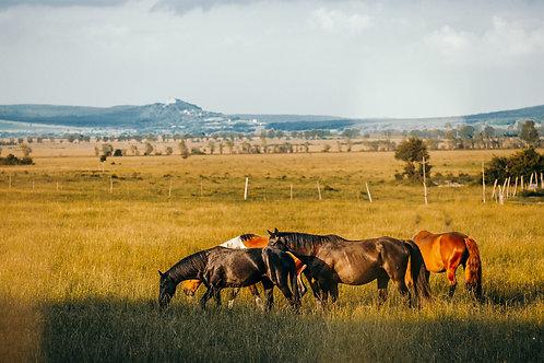 Salföldi lovak