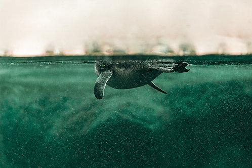 Úszó pingvin