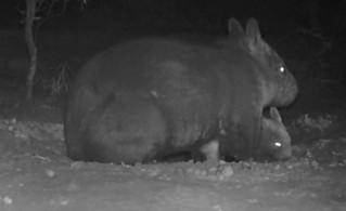 Un wombat à nez poilu du Nord a vu le jour en Australie